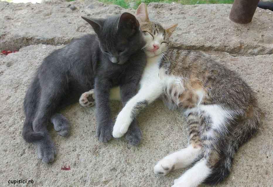 pisicile vara