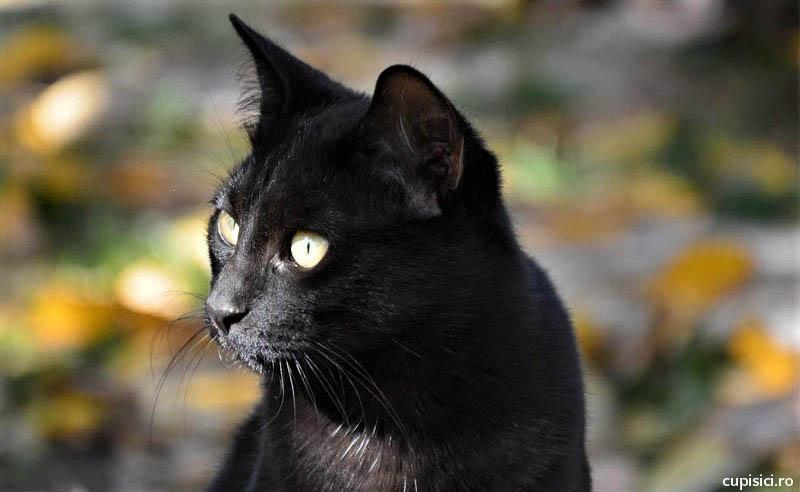 pisicile negre