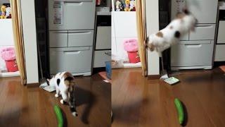 de ce se sperie pisicile de castraveti