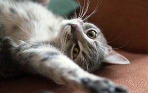 calduri la pisici