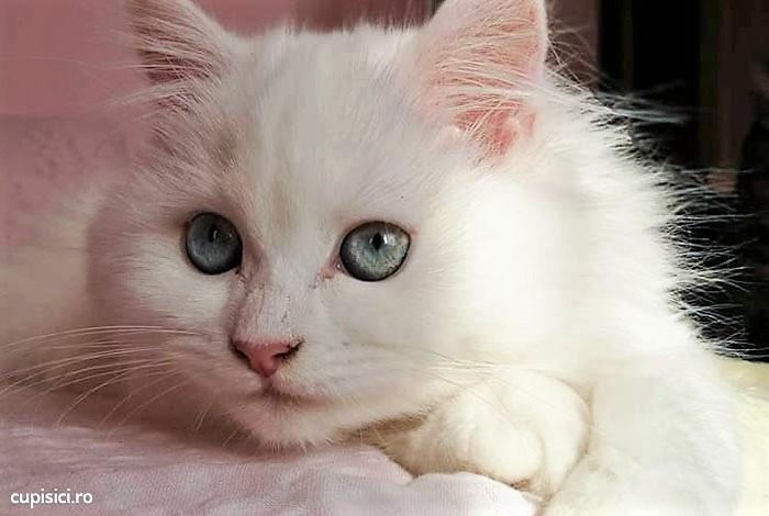 pisicile albe