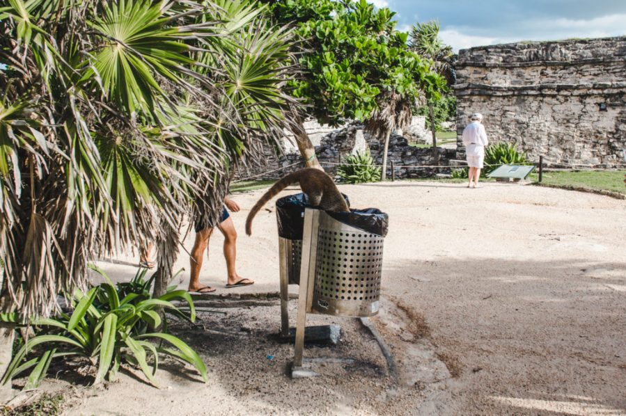 coatis how to see the tulum ruins and when's the best time to go   ancient mayan ruins tulum mexico
