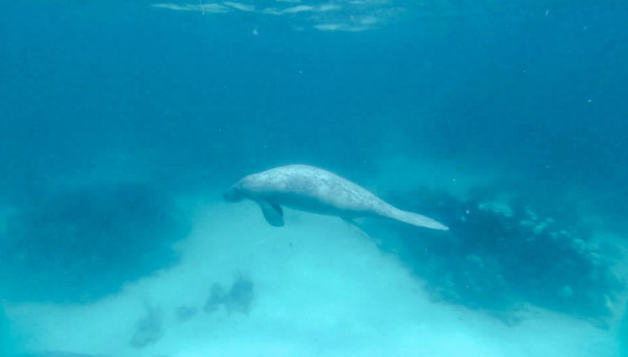 scuba dive snorkel with manatees and sharks in caye caulker, belize things to do