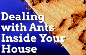 Dealing with Ants Inside Your House 2