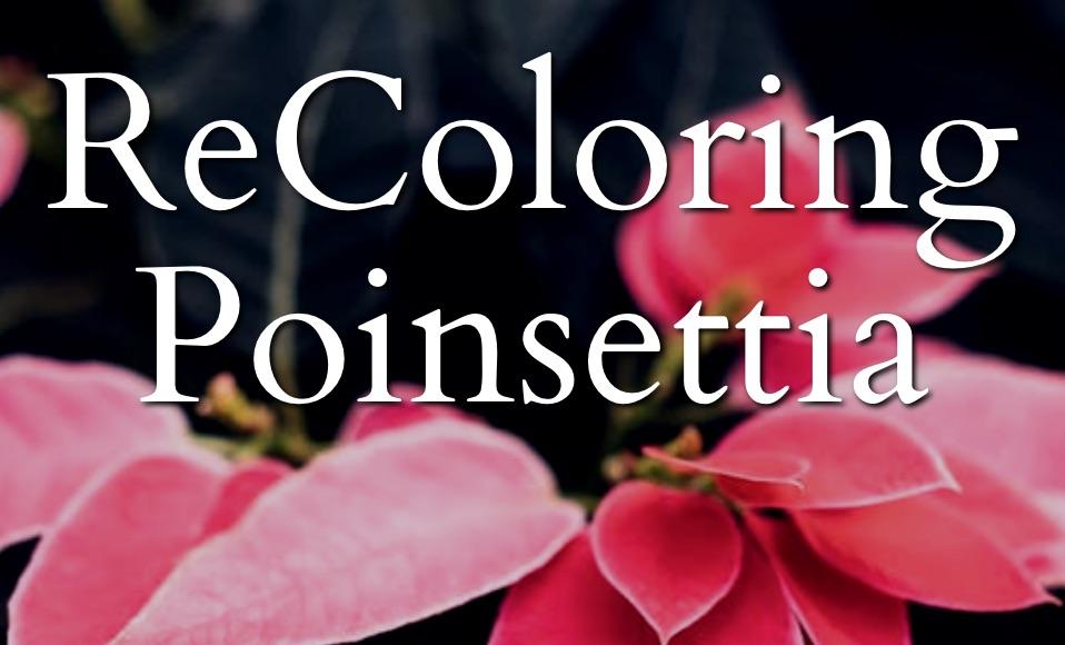 ReColoring Poinsettia 1