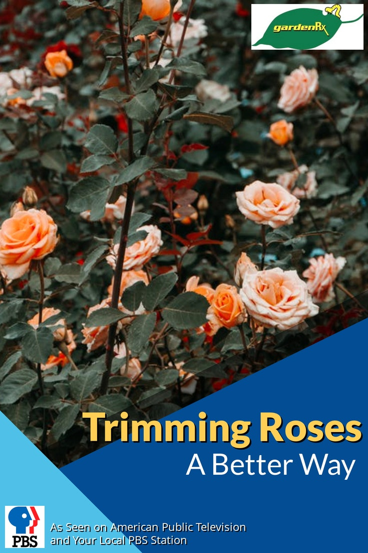 trimmng roses splash