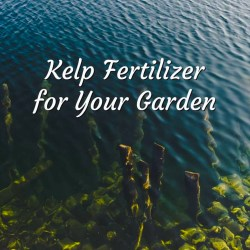 kelp fertilizer