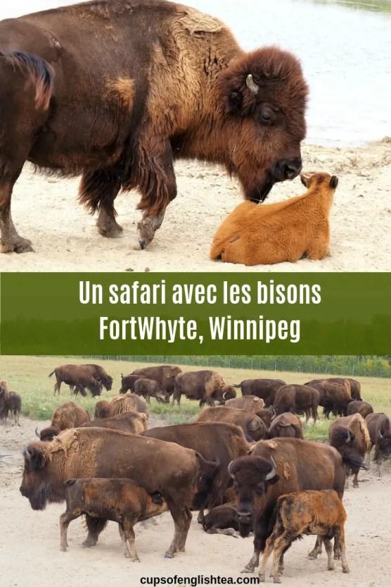 Un safari avec les bisons FortWhyte, Winnipeg