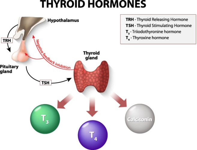 Anxiety and Hormones - Thyroid Hormones