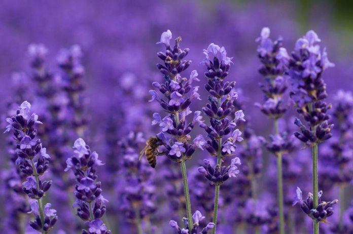 Lavender: Sooth Your Headaches, Calm Your Nerves and Ease Depression All with One Herb