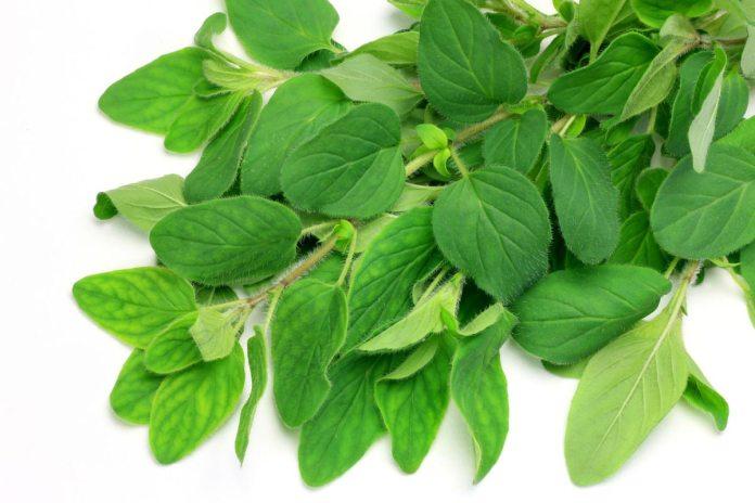 Oregano: The Wonder Herb