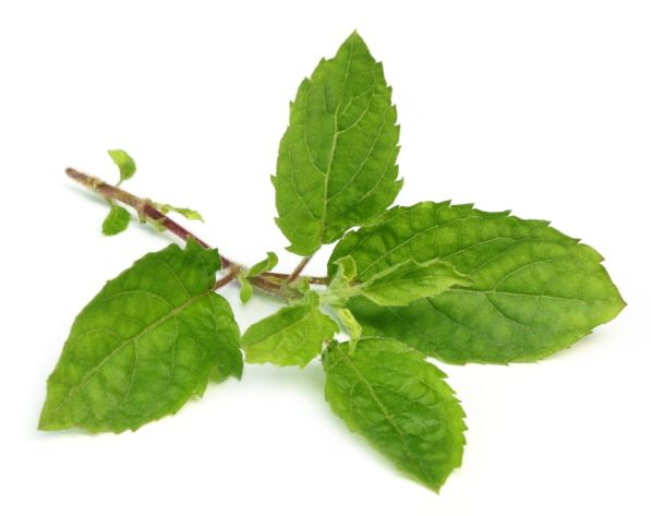 3 must have herbs for healing your body and mind_Holy Basil - Tulsi