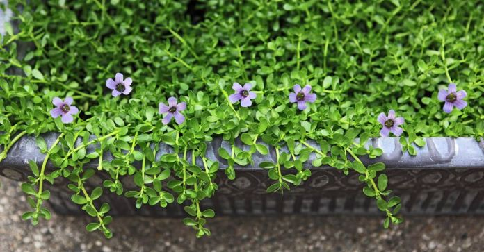 Brahmi The Herb That Improves Your Brain Health