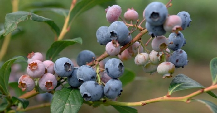 Blueberry: Is It A Natural Substitute For Viagra?