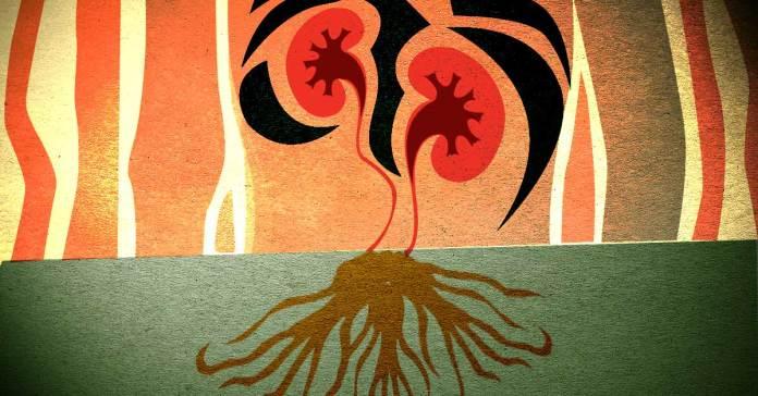 Is Ashwagandha Good For Your Kidneys