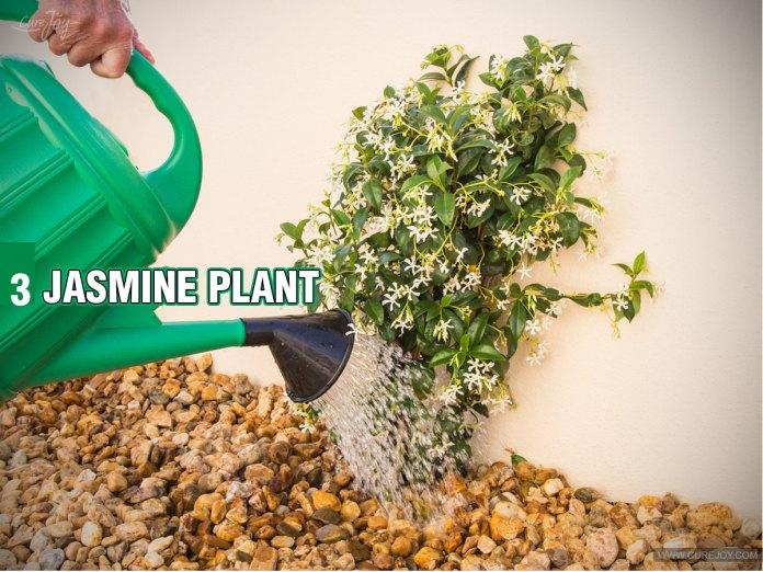 3-Jasmine-Plant