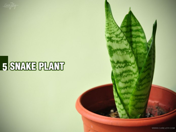 5-Snake-Plant
