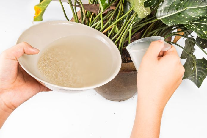 watering plant with rice rinsed water