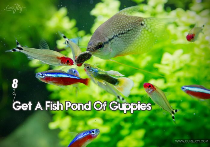 8-get-a-fish-pond-of-guppies