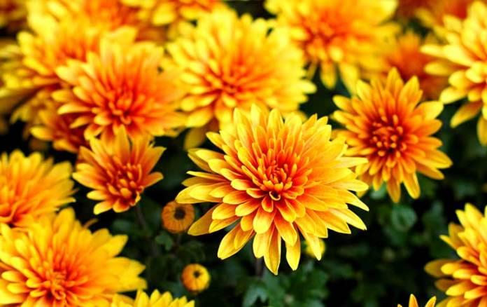 Chrysanthemum removes ammonia from indoor air
