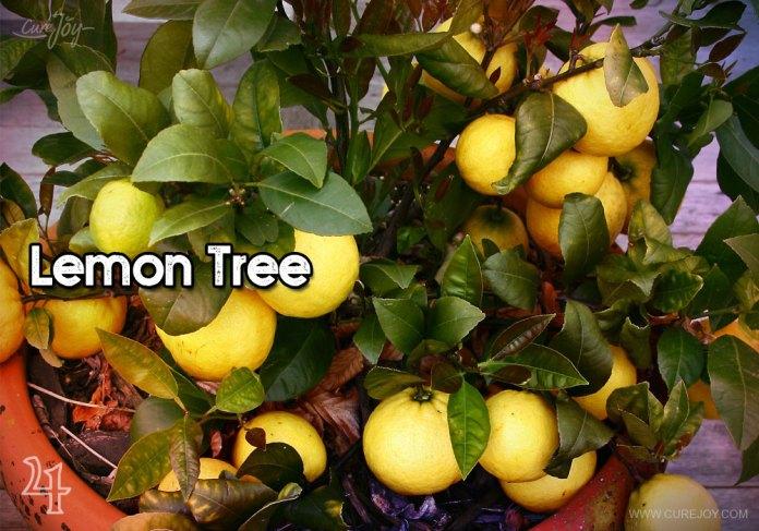 4-lemon-tree