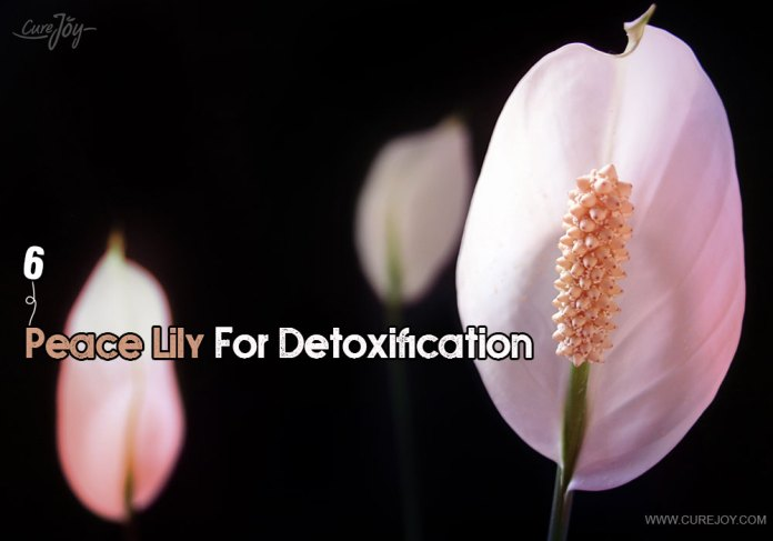 6-peace-lily-for-detoxification