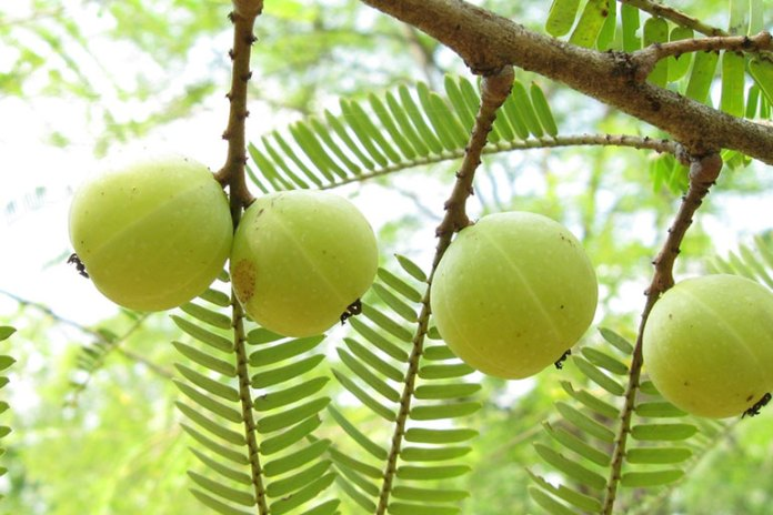 Indian gooseberry: herbs for diabetes