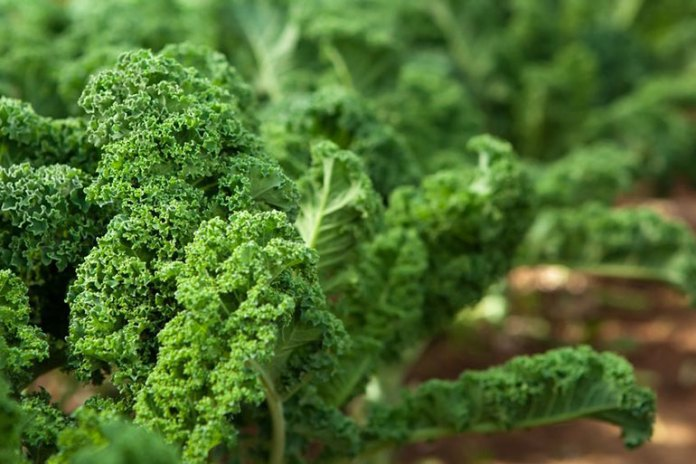 Eating Kale Raw helps you maintain heart health