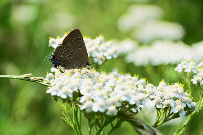 Blue Yarrow Calms Down Allergic Reactions