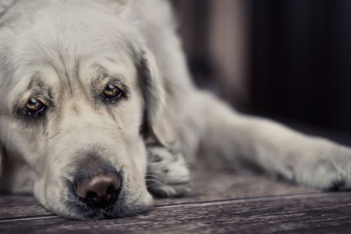 Dog might have bowel problems when in pain