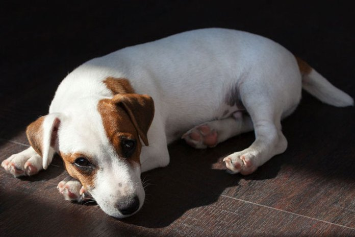 Dog will have less energy due to pain