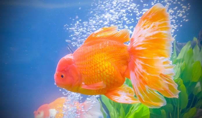 Oxygen For Goldfish