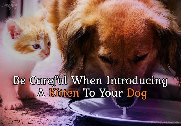 5-be-careful-when-introducing-a-kitten-to-your-dog