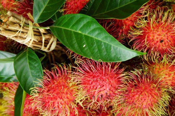 The rambutan leaf is an analgesic, aphrodisiac, and promotes hair health