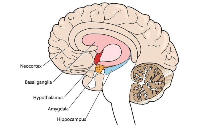 Effects Of Depression On The Brain: Amygdala