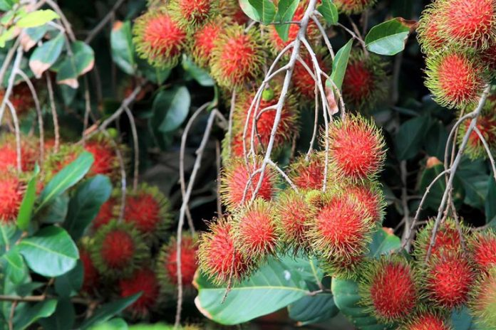 Rambutan bark can relieve canker sores