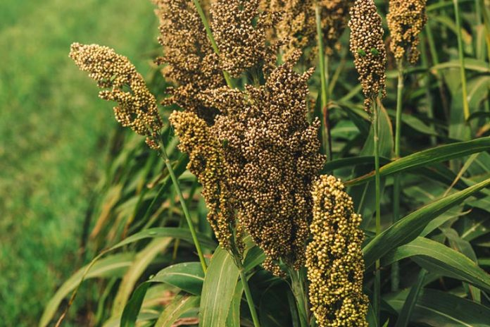 Herb Sorghum is effective in treating preoperative anemia