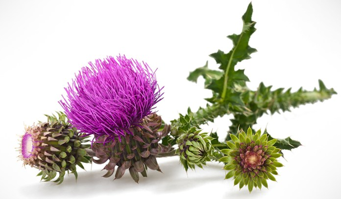 Milk thistle is an excellent supplement for treating Addison's disease