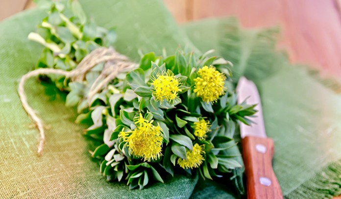Nootropic Supplements to Boost Brain Power Rhodiola Rosea