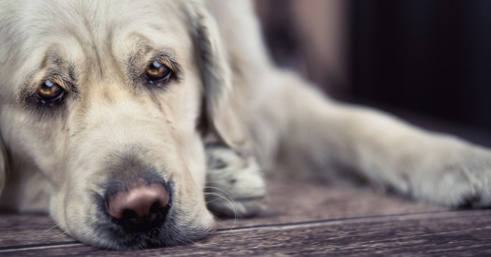Signs Your Dog Is In Pain