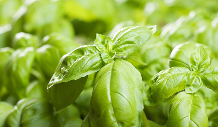 basil boosts immunity and is good for health