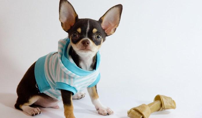 healthy dog: Chihuahua