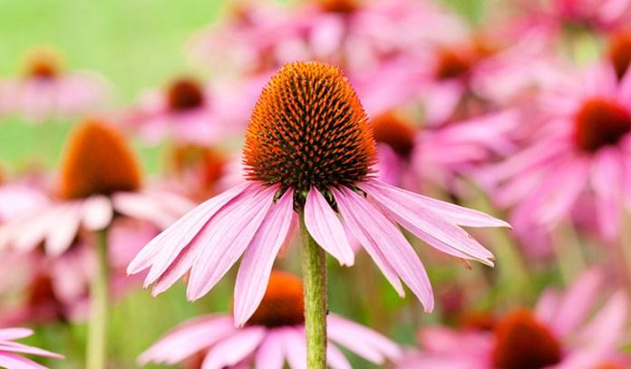 Home Remedies To Treat Impetigo Naturally Echinacea