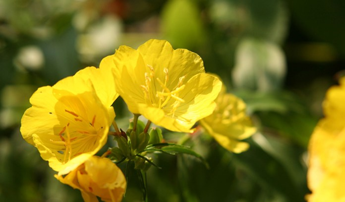 evening primrose can treat arthritis and pms
