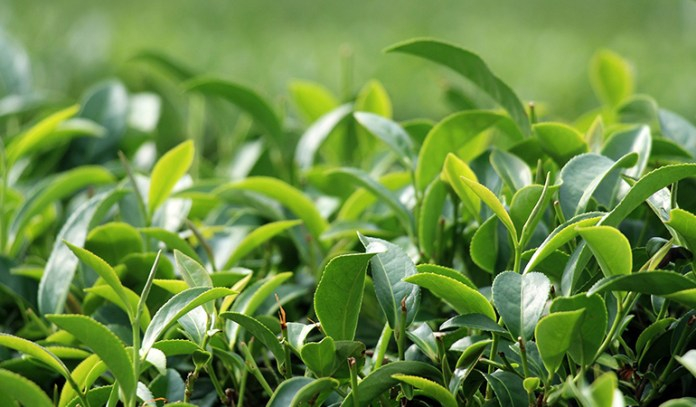 green tea aids in weight loss