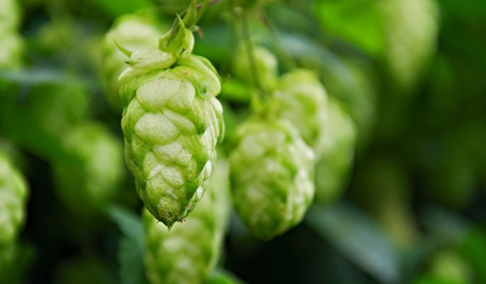 Hops Compounds Are Phytoestrogens And Help Ease Menopause Symptoms
