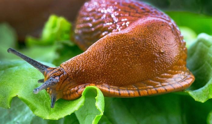 Baking soda acts like salt, drying up slugs