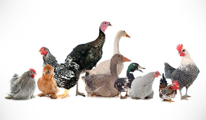 Chicken and other forms of poultry are a great source of lean protien, zinc and other minerals that are essential for the body as well as brain health