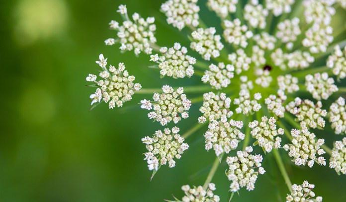 wild carrot flower can cause severe allergic reactions