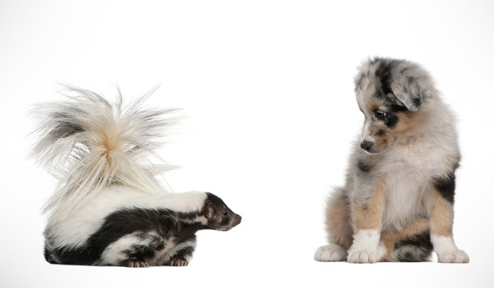 Use A Homemade Skunk Rinse To Get Rid Of Skunk Stink